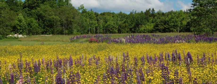 2012 Lupines and buttercups.jpg Sedgwick page